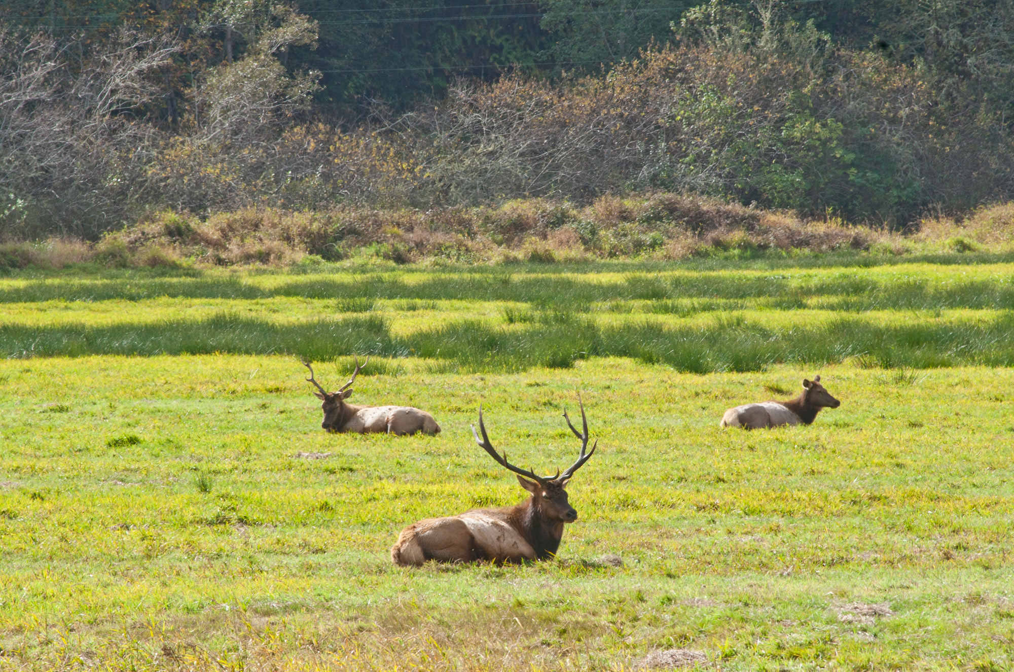 Three Roosevelt elk rest on the bright green grass of the Dean Creek Elk Viewing Area near Reedsport, Oregon.
