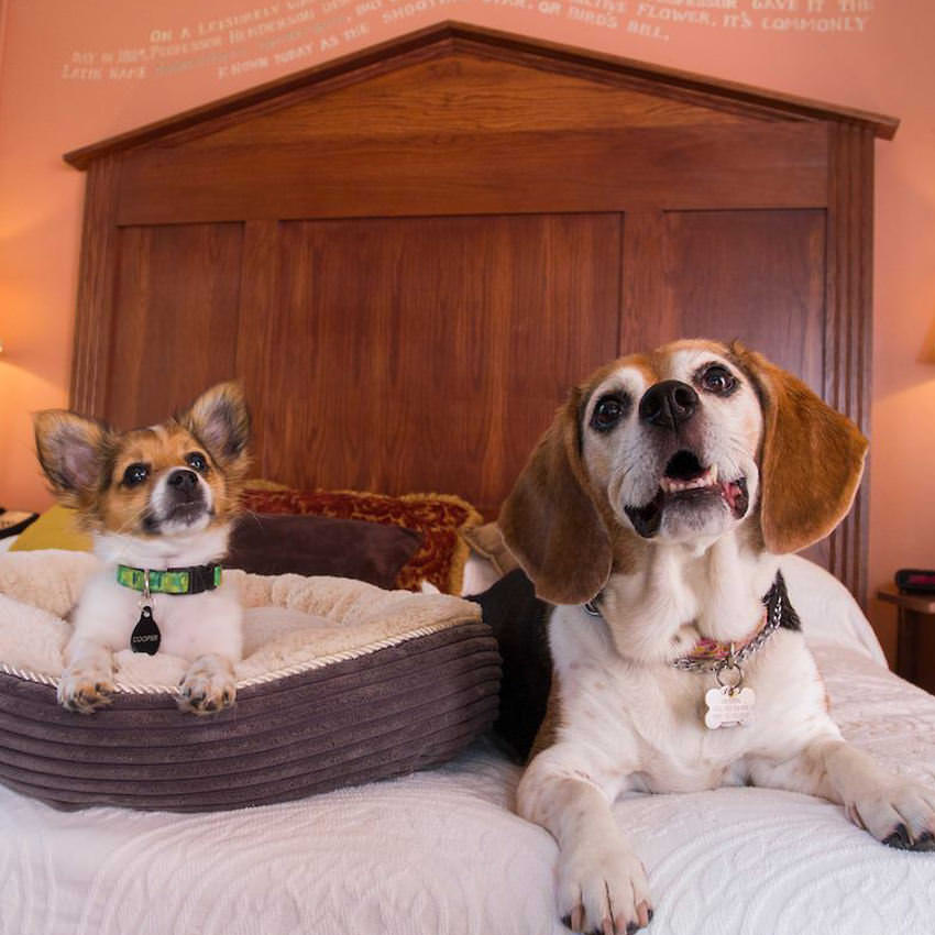 Two dogs pose on a hotel room bed