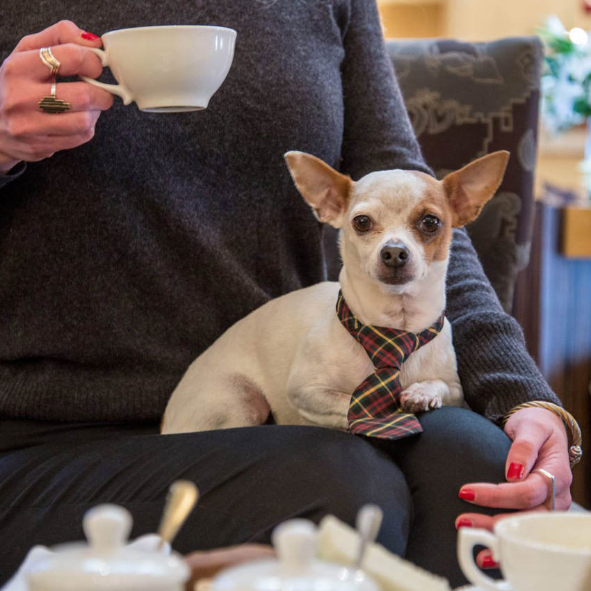 A small dog wearing a tie sits on its owner lap