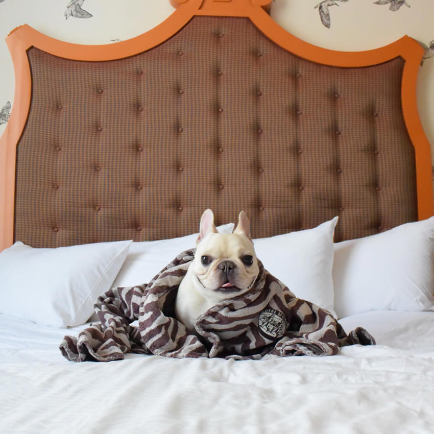 A small dog poses on a luxurious bed