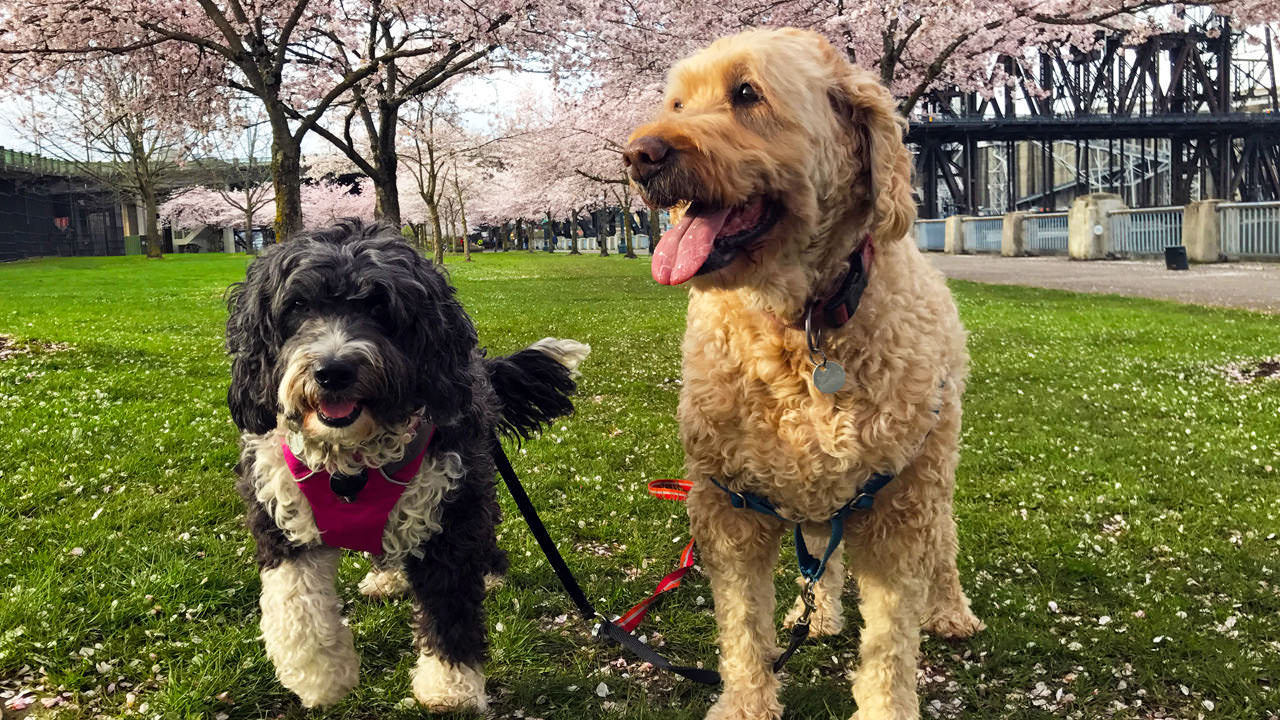 Two dogs pose for the camera underneath blooming cherry trees