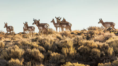 Pronghorn at the Hart Mountain National Antelope Refuge by Jak Wonderly / Travel Southern Oregon