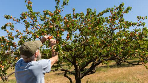 Annie's Apricots grows Tilton, Goldrich, Perfection, Wenatchee varieties.
