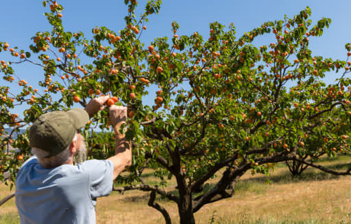 Annie's Apricots grows Tilton, Goldrich, Perfection, Wenatchee varieties.