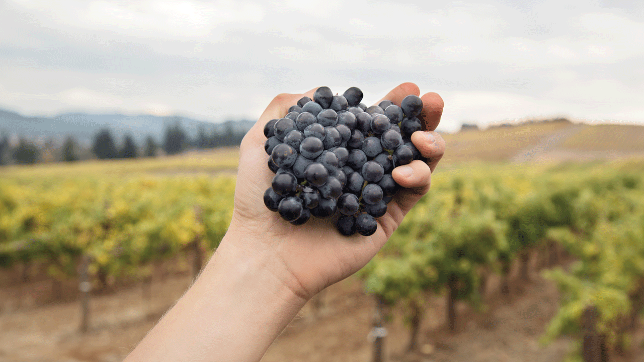 A hand holds a grape cluster in front of a misty vineyard.