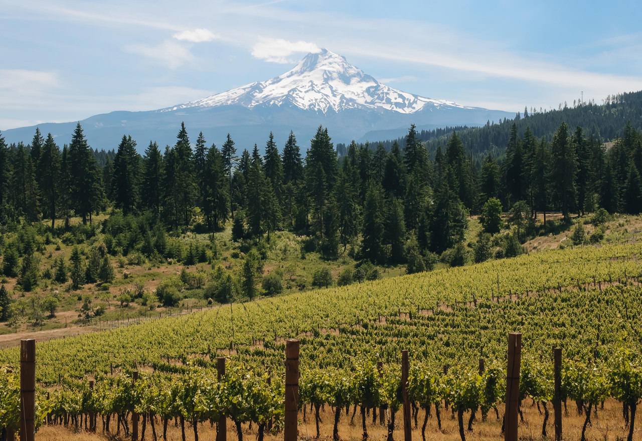 A snow-capped Mt. Hood looms above a green vineyard.