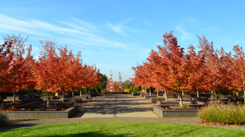 Maple trees come alive with color in the Bosque Garden, making The Oregon Garden a top spot for spotting fall foliage.