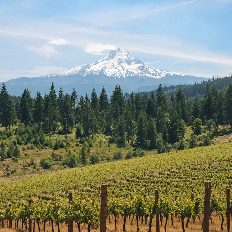 Mt. Hood looms in the background of wine grapes.