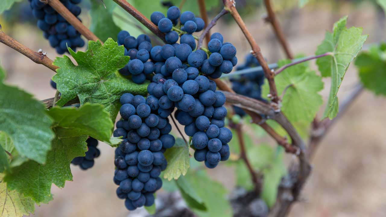 Deep blue wine grapes look ready to be plucked for the vine.
