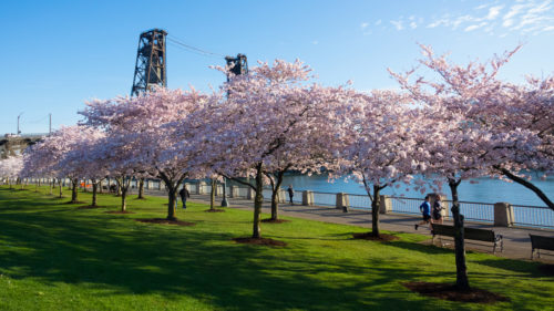 The cherry blossoms bloom at Tom McCall Waterfront Park for just about two weeks each spring, creating a vibrant photo backdrop and reliable harbinger of spring. (Photo by: Susan Seubert)