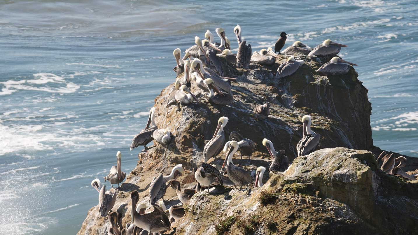 Brown Pelicans and a Cormorant perch above the Pacific Ocean.