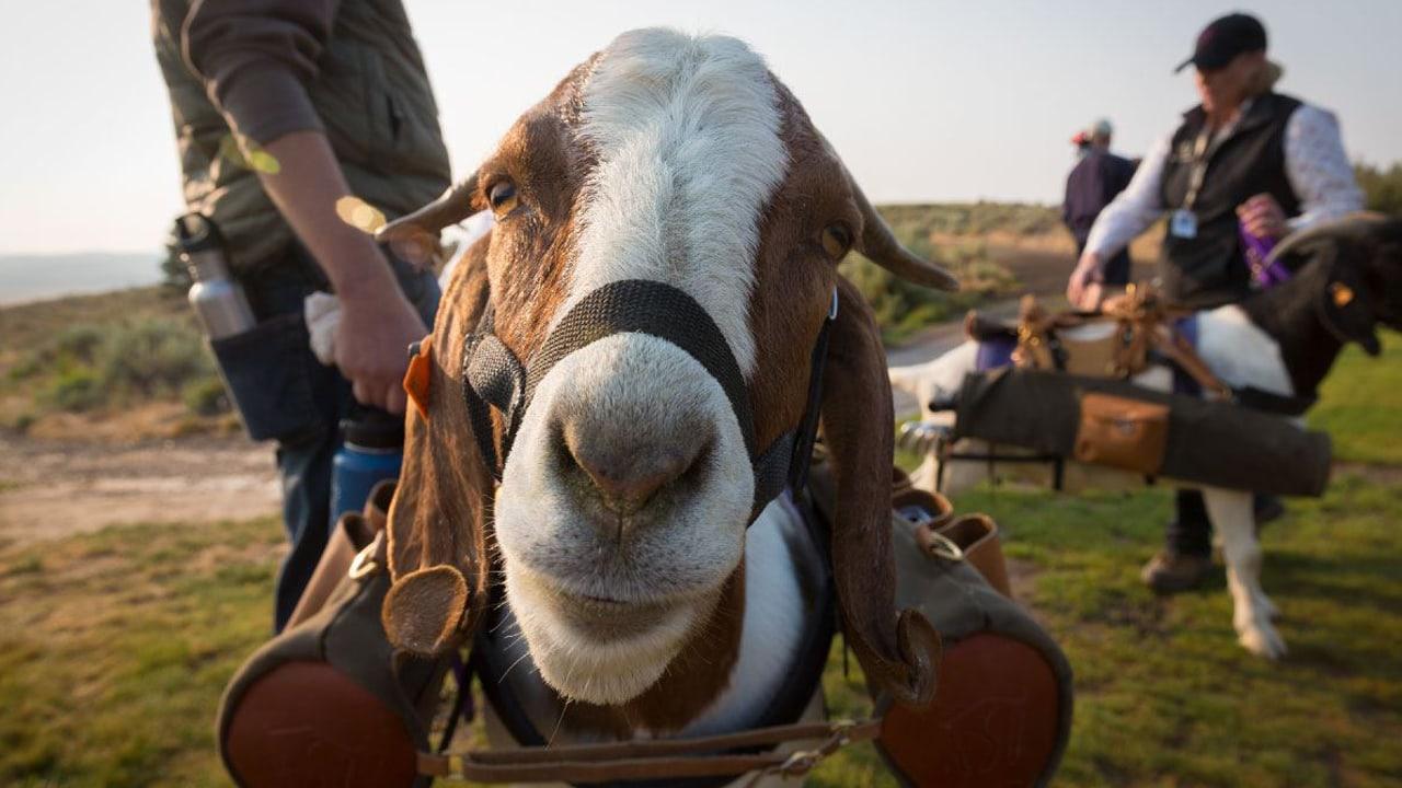 Goat at Silvies Valley Ranch