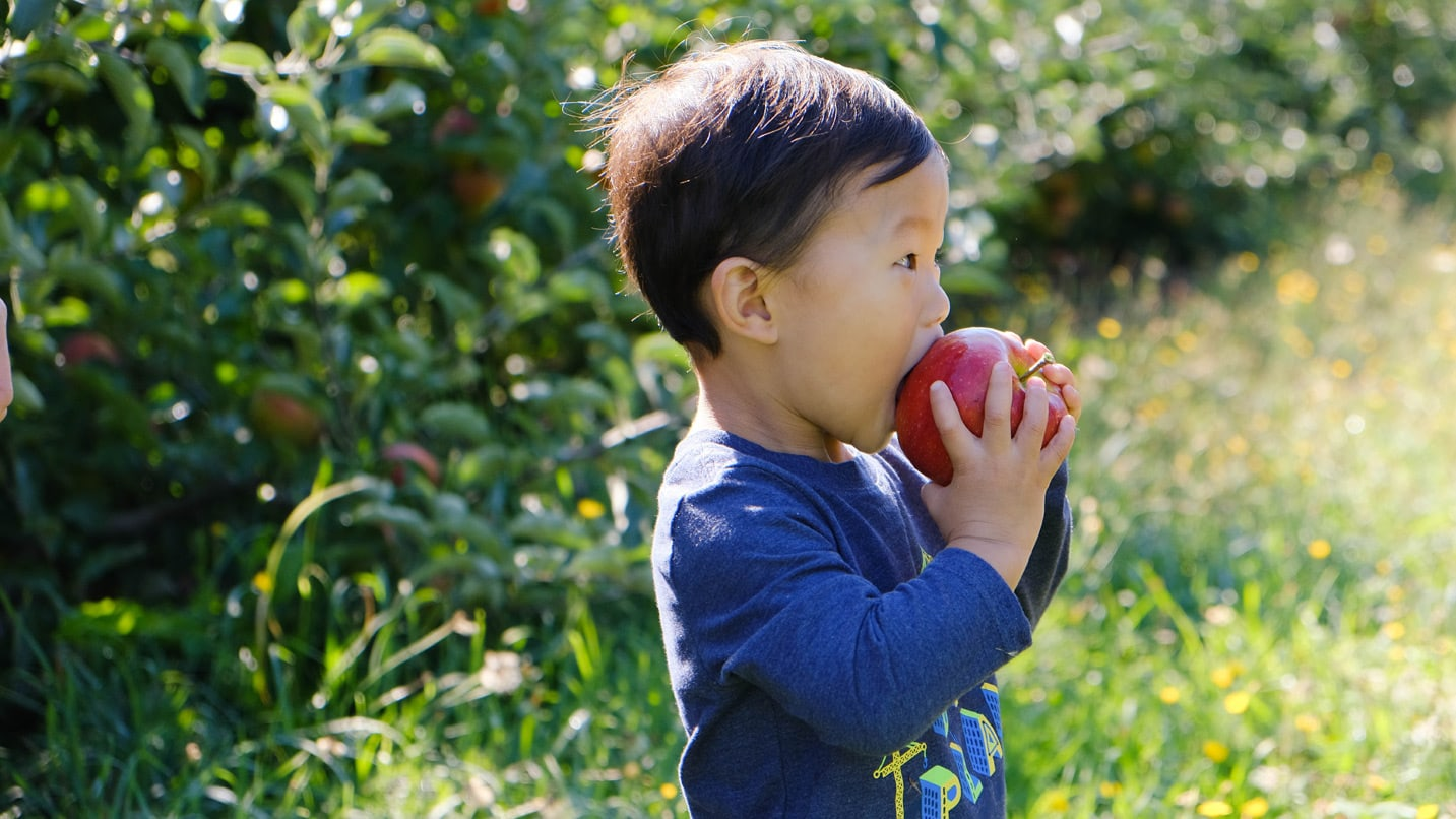 small child bites into red apple while standing on path in apple orchard