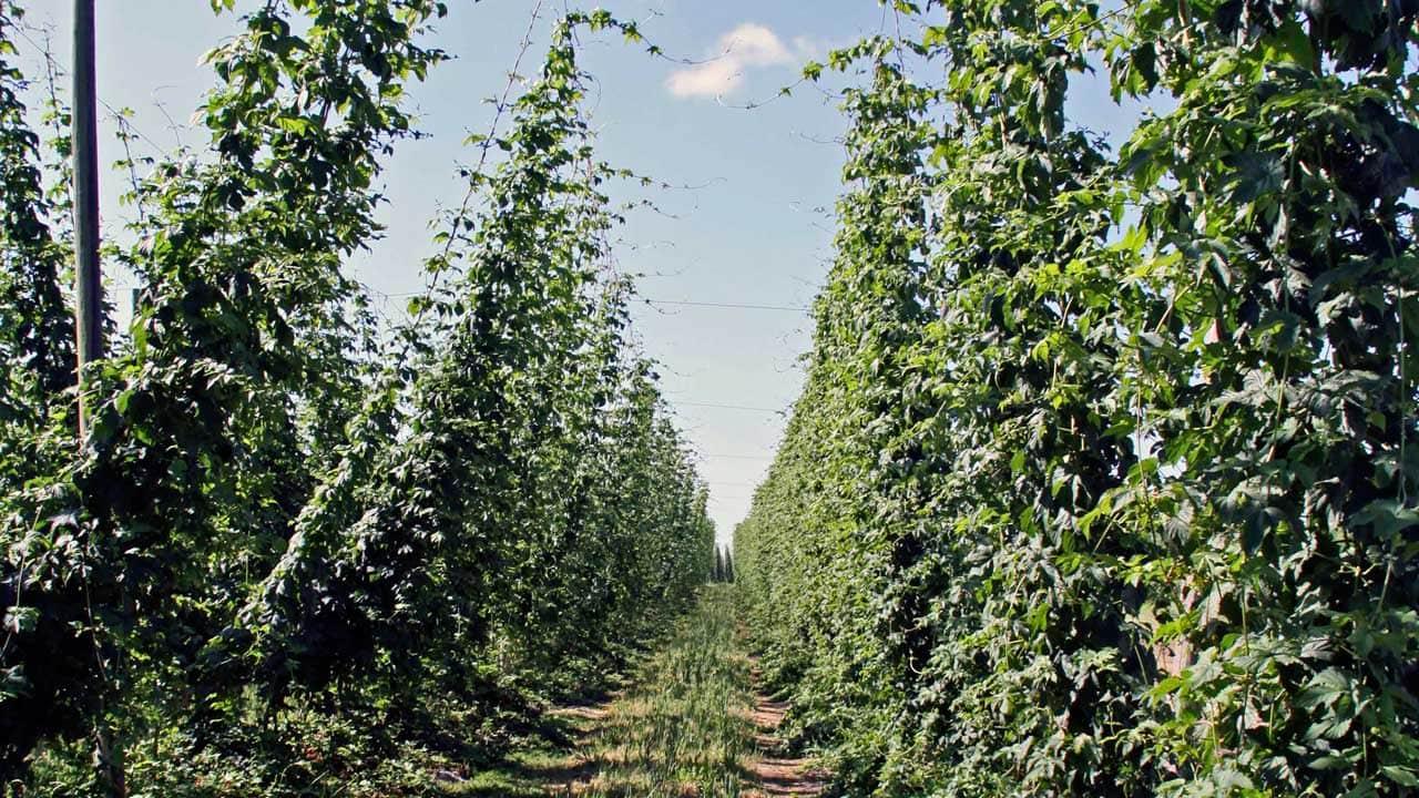 Hops grow up trellises in a Willamette Valley farm.