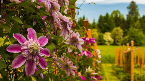 Boost your flower power with an afternoon at the Rogerson Clematis Garden in West Linn, home to nearly 100 varieties of garden-friendly clematis. (Photo by MtHoodTerritory.com)