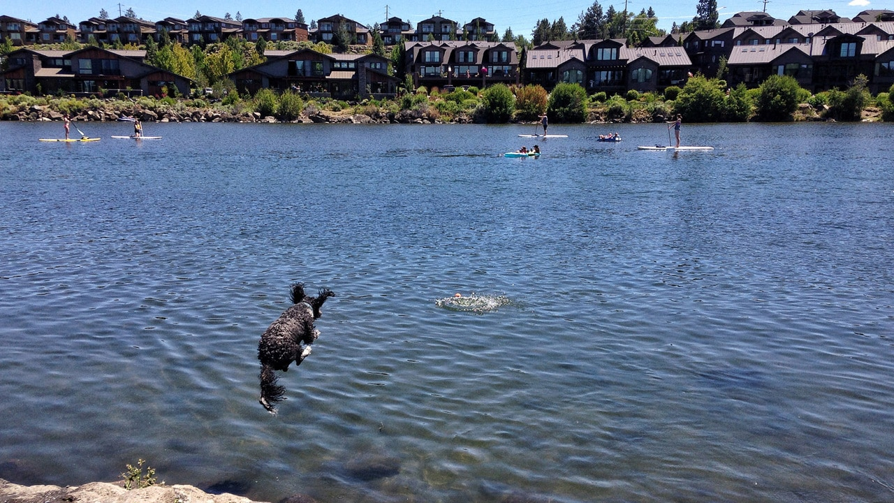 A dog jumps into the river in Bend.