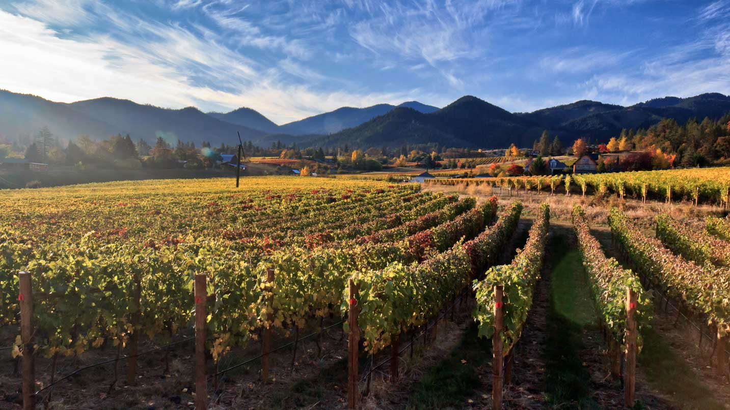 Grapevines look ready for harvest amid blue skies and summer weather.