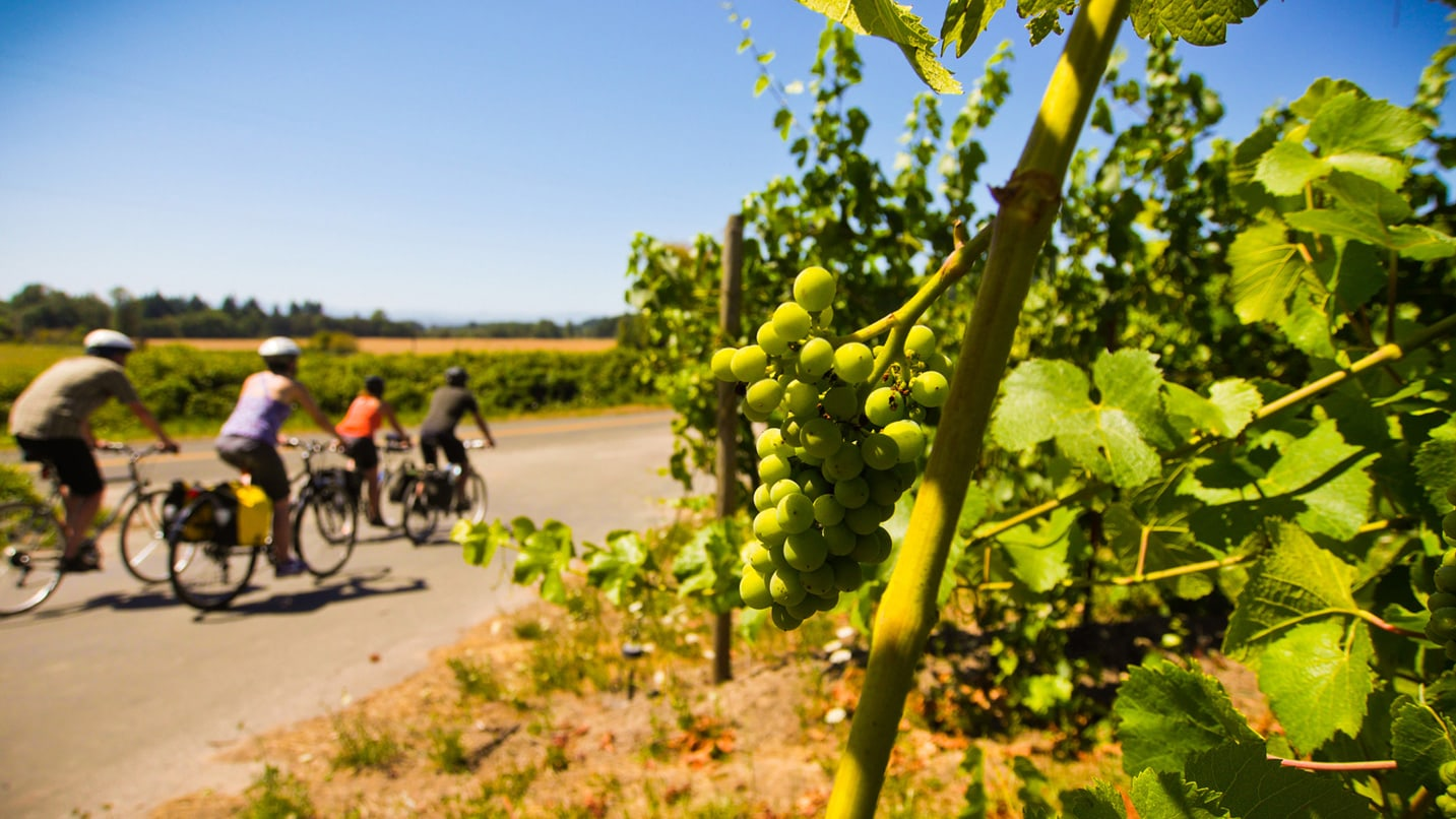 Four cyclists pedal on the Willamette Valley Scenic Bikeway past grapevines.