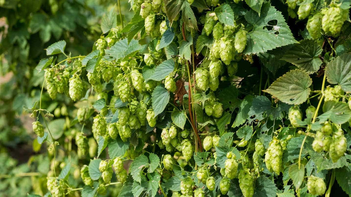 A closeup of fresh hops ready for picking.