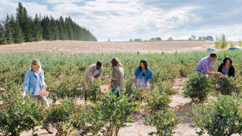 Friends pick blueberries under blue skies.
