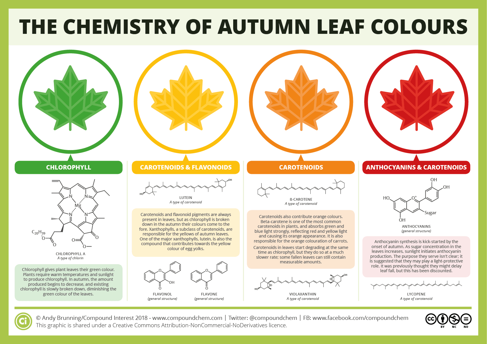 Diagram - In leafy trees and plants, the substance leaves use to harness energy from the sun — chlorophyll — breaks down and drains away during fall. Plants take in nutrients like nitrogen from those leaves before they fall. And as the green chlorophyll departs, leaves change color based on pigments left behind. Carotenoid pigments, for example, will turn a leaf yellow; anthocyanin pigments turn trees and shrubs red. The balance of each of those pigments creates a spectrum of fall color, with red anthocyanins and yellow carotenoids creating brilliant orange hues. If some chlorophyll remains with either of those pigments, leaf colors may range from yellow green to a reddish brown.