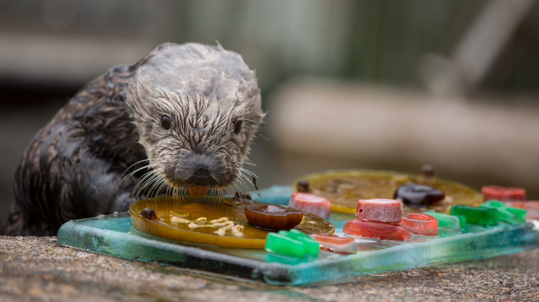A sea otter does an enrichment activity at Oregon Coast Aquarium.