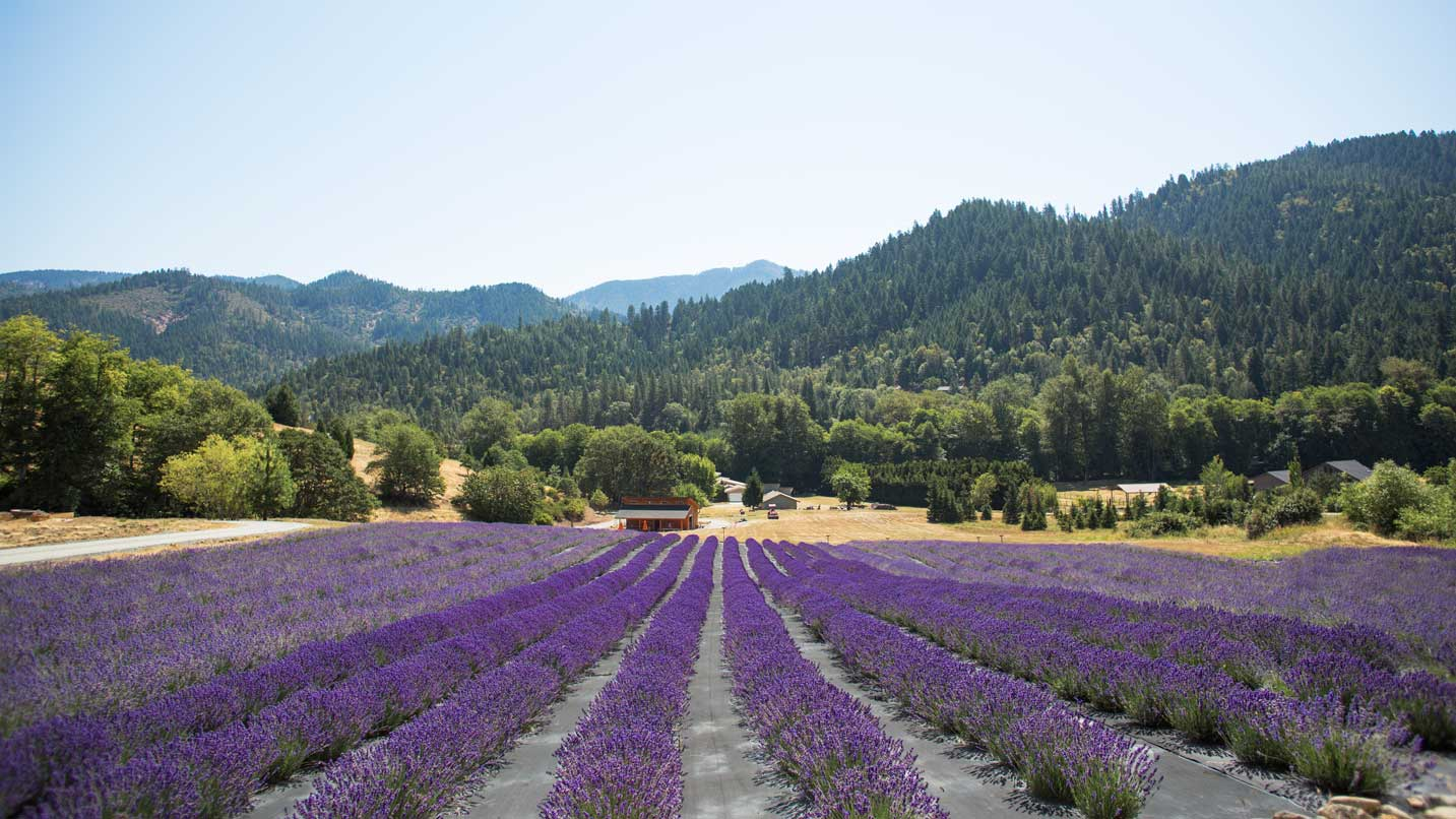 Rows of bright lavender stretch across a farm.