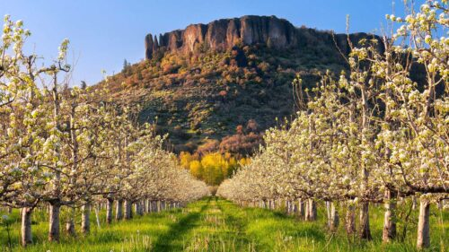Table Rock rises above an orchard.