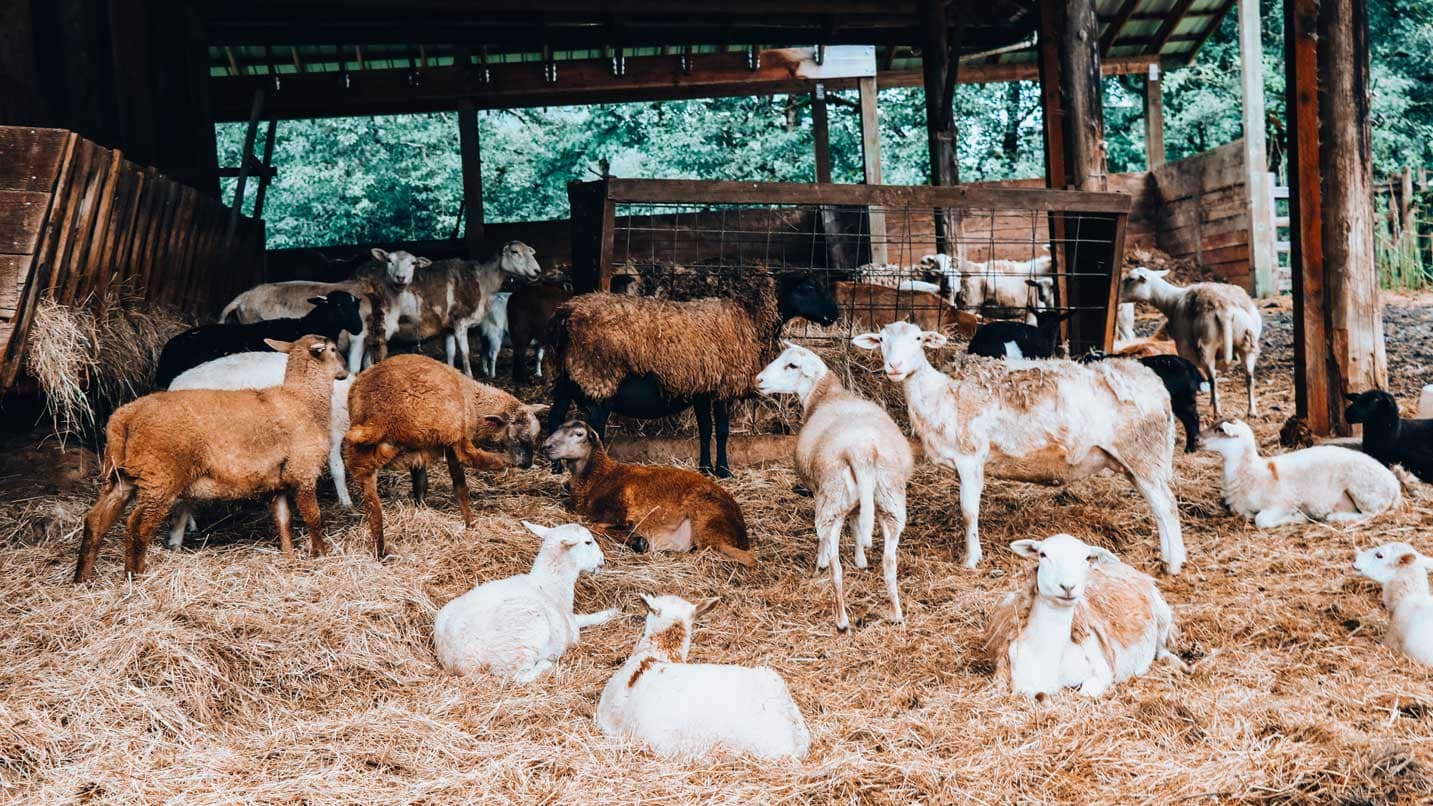 Lambs and goats rest on hay inside a barn.