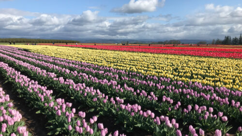 Rows of brightly colored tulips line a field.