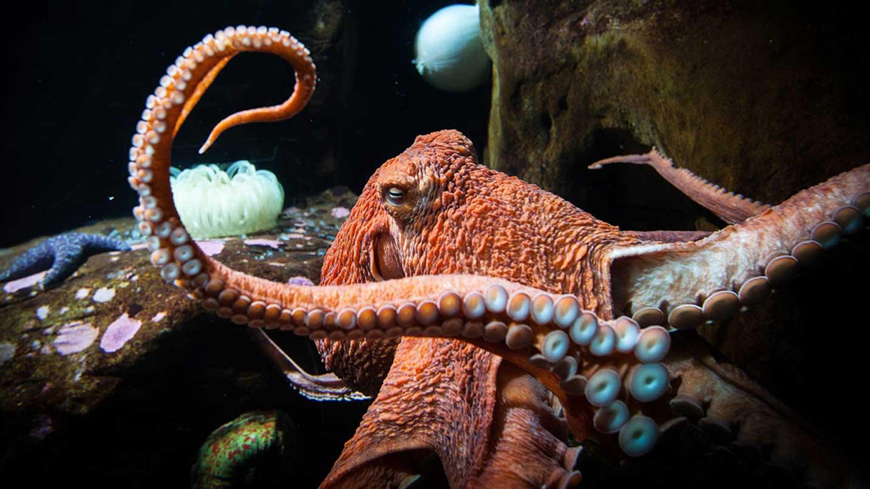 A giant octopus lives at the Oregon Coast Aquarium.