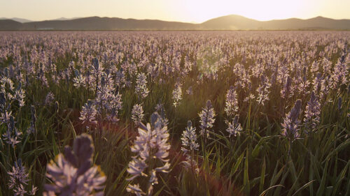 field of wild camas with sunset in background