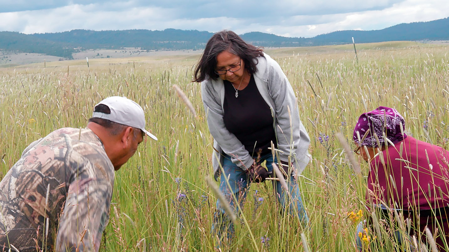 Indigenous people havesting wild camas in a field.