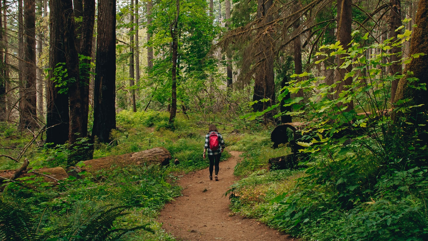 A hiker walks between burned trees on an otherwise lush trail.
