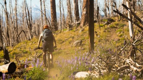 A mountain biker pedals past burned trees and purple wildflowers.