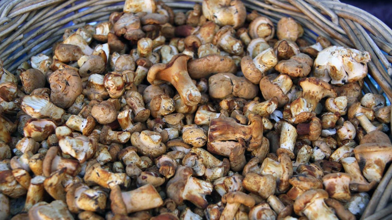 Oregon's abundant mushroom varieties.