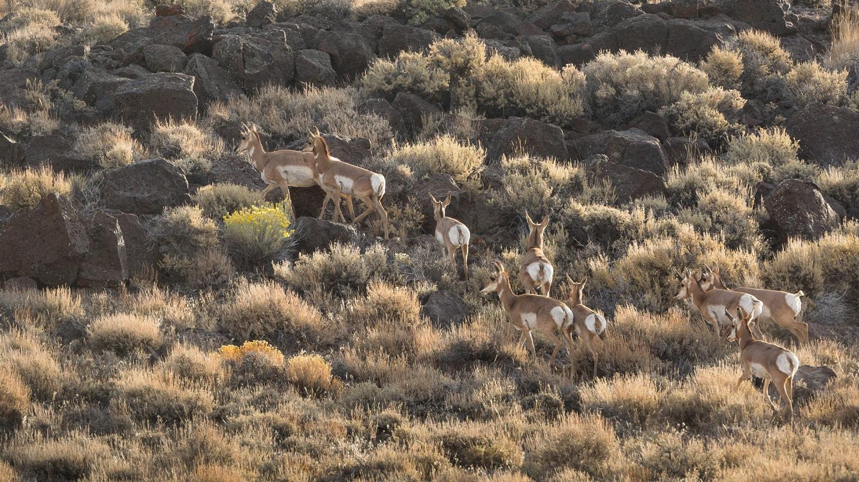 A herd of pronghorn in sagebrush
