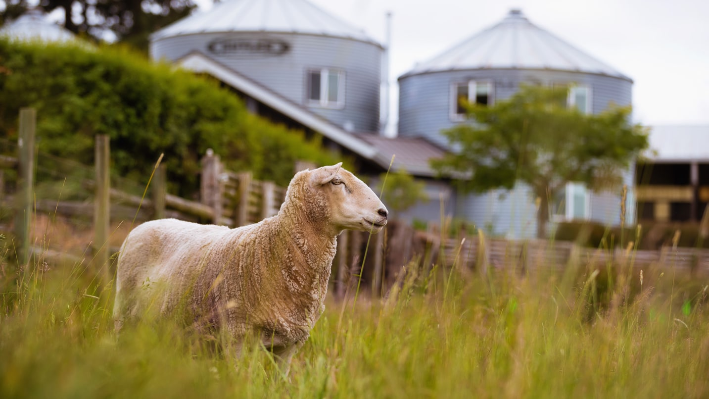 A lamb looks into the distance with grain silos in the background