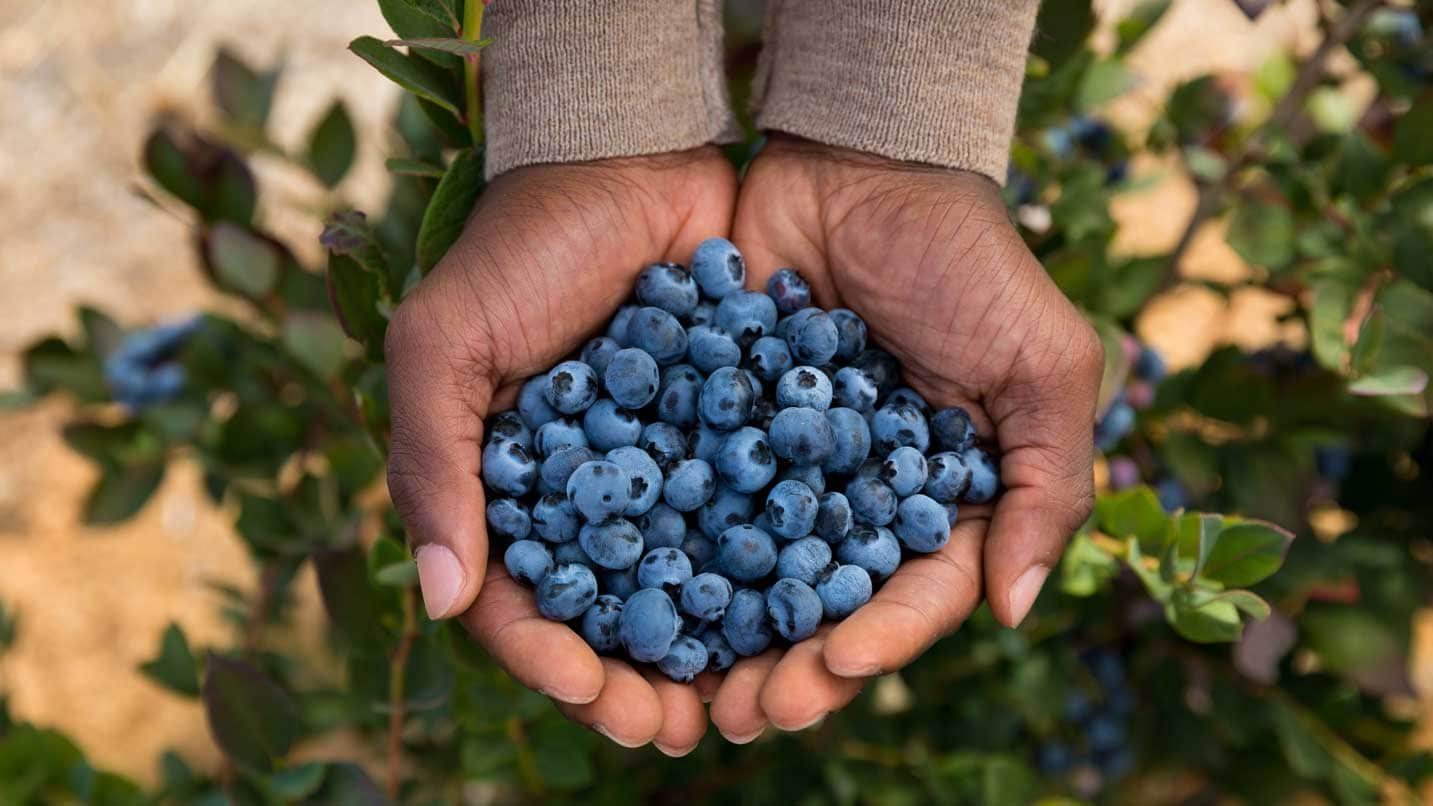 A hand holds blueberries over the bush from which they were picked.