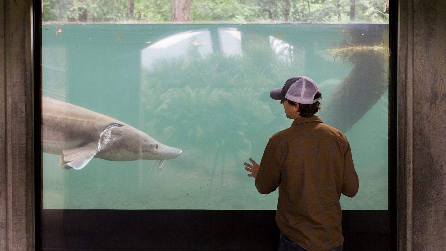 A person looks through glass at a giant sturgeon