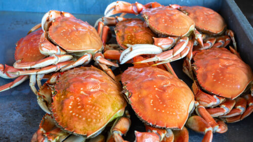 A pile of dungeness crabs.