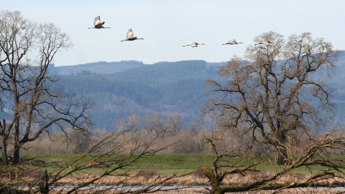 A flock of birds fly above a marsh with hills in the distance