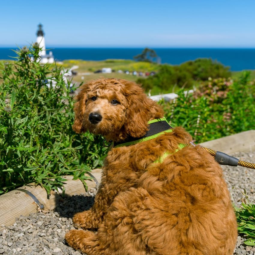 Brown dog in foreground withlighthouse in background