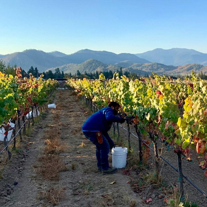 Man harvesting wine grapes in a vineyard