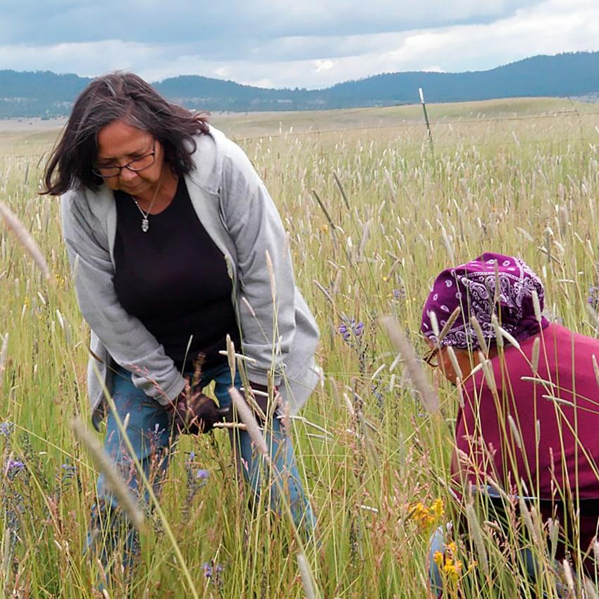 Indigenous women harvesting camas in a field in Oregon.